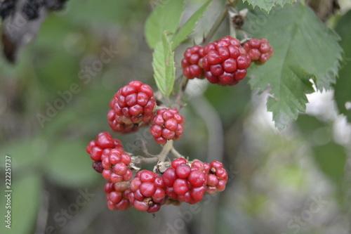 Foto Murales berries on a branch