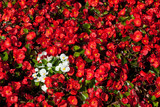 Plant background: a spot of white flowers in a flowerbed among the many red ones - 222255389