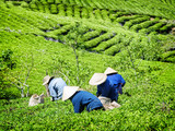 Tea pickers in traditional hats collecting green tea leaves - 222256318