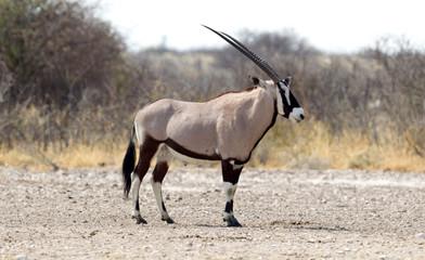 Oryx at a waterhole, Kalahari desert