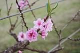 cherry blossom in angkhangstation - 222256717