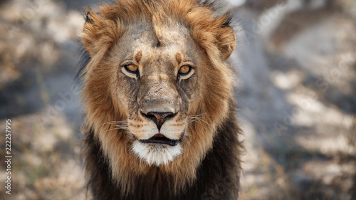 Big lion male portrait in the warm light. Wild animal in the nature habitat. African wildlife. This is Africa. Lions leader. Lion King. Panthera leo.
