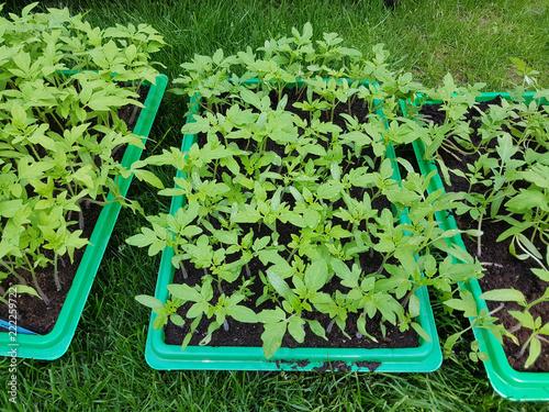canvas print picture Tomaten; Lycopersicon; esculentum; Gemuese; Keimling