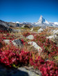 Matterhorn mit rot eingefärbtem Busch