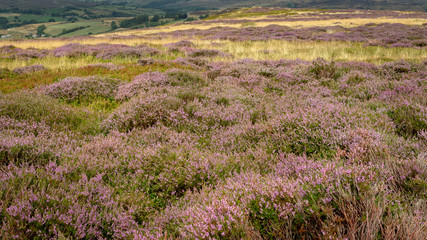 Heather moorland - a purple carpets of blooming heather stretches in stunning landscape in North York Moors National Park, Yorkshire, UK.