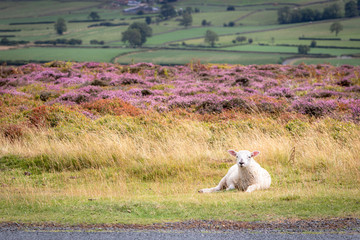 One sheep resting on a grassy piece of English countryside. Blooming heather moors in background