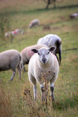 One sheep looking at camera and standing on a grassy farmland
