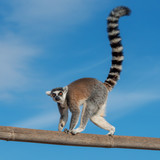 A ring-tailed lemur crossing a bamboo trunk - 222297326