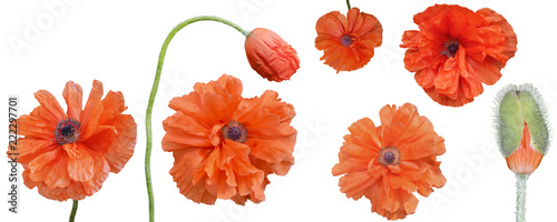 Fototapeta Bright red flowers and a poppy bud on a white background, poppies isolate