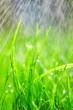 Leinwandbild Motiv Green grass with water droplets on the leaves. Lawn. Morning freshness