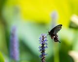 black swallowtail butterfly on flower