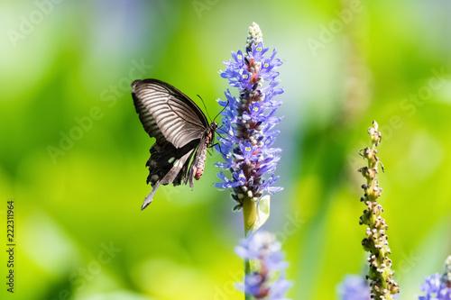 Leinwandbild Motiv swallowtail butterfly on flower