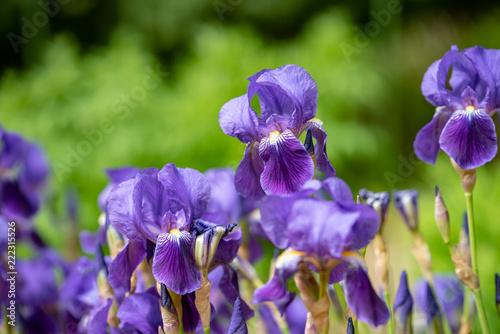 Foto Murales 菖蒲の花