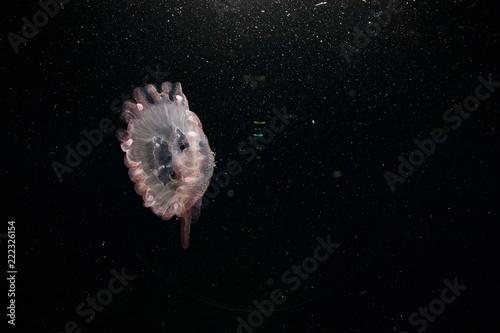Fototapeta Jellyfish