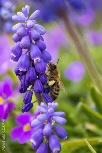 Biene an Blüte - 222337101