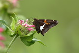 A Silver Spotted Skipper Butterfly feeds on flowers in my Herb Garden.