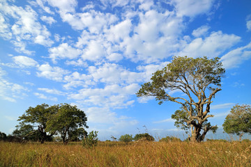 African savannah landscape with trees in grassland with a cloudy sky, South Africa. © EcoView