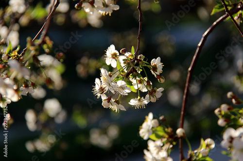 Fototapeta Closeup of cherry blossom. Cherry - Sakura and sun with background. Spring flowers. Beautiful blossoming tree branch. Spring background.