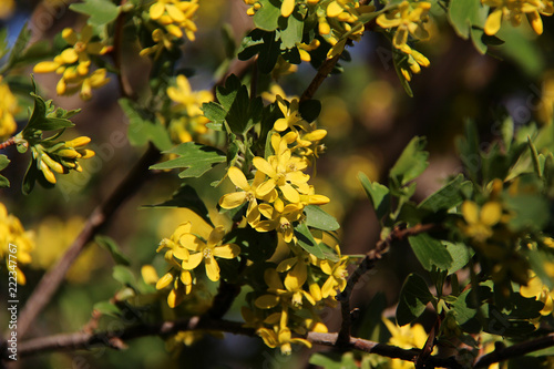 Yellow currant blossoms ribes nigrum with leaves spring yellow yellow currant blossoms ribes nigrum with leaves spring yellow flowers background mightylinksfo