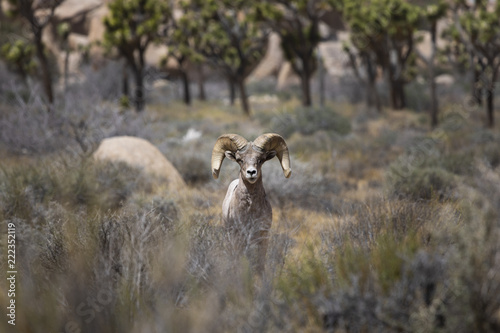 Fototapeta Bighorn Sheep Joshua Tree 1