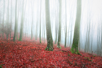 Bright foggy beech forest landscape with red leaves on the ground. © robsonphoto
