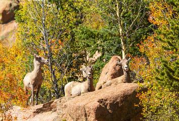 Trio of Bighorn Sheep in the Colorado Autumn Rocky Mountains