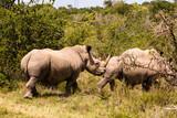 Rhinos Walking - 222360939