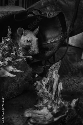 Szczur gryzie kość.