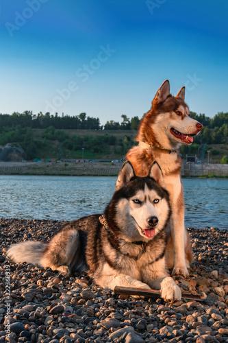 Beautiful Couple Cute Siberian Husky Dogs Red And Black White Husky