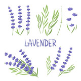 Set of watercolor Lavender flower elements. Vector illustration. - 222372716