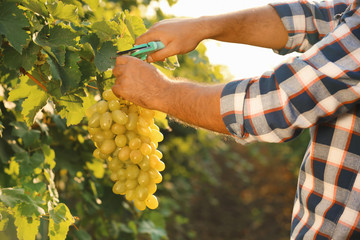 Man cutting bunch of fresh ripe juicy grapes with pruner, closeup