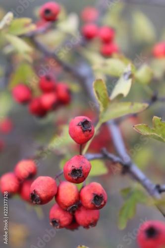 Foto Murales Red Rose hip