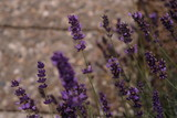 Lavendel Sommer Blühend im Garten mit Details - 222379557