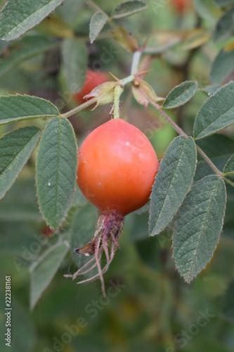 Foto Murales Owoce róży karpackiej