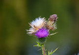 Thistle Stages - 222388392