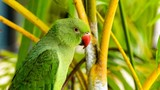 Exotic parrot in tropical forest. Maldives. Wild nature.