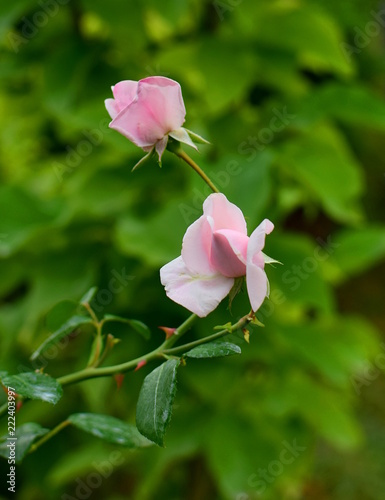 Foto Murales buds of the rose New Dawn in the garden