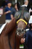 race horse on paddock in Japan - 222415501