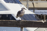 Gull at the San Francisco Bay Ferry port