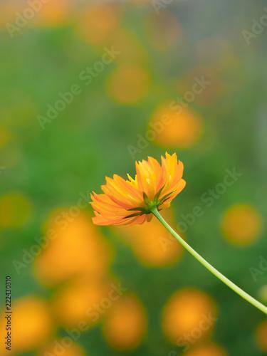 鮮やかなオレンジ色のコスモス - 222430310