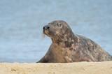 grey seal basking on a sandy beach