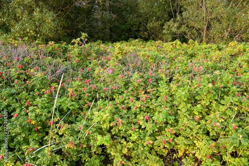 Wild rose bushes. - 222484309