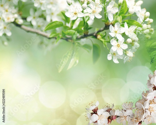 Fototapeta Flowers of the cherry blossoms on a