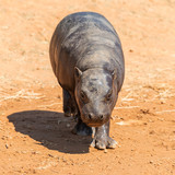 A pygmy hippopotamus walking on the ground comes to the camera - 222490958