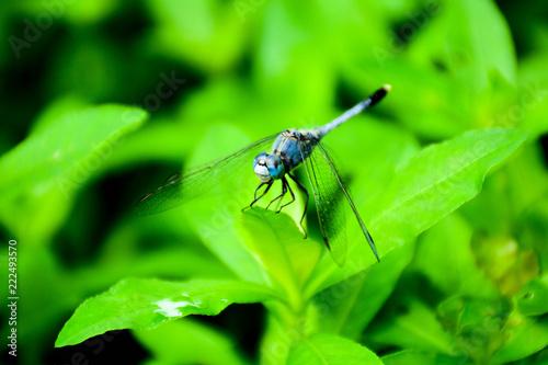 Leinwandbild Motiv blue dragonfly on a green grass leaf