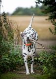 The Dalmatian