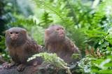 Pair of pygmy monkeys sitting in green grass. - 222497379