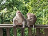 Macaca fascicularis in monkey forest of Ubud, Bali, Indonesia - 222498348