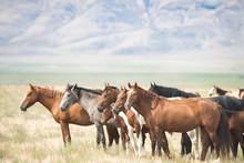 """Постер, картина, фотообои """"Wild Horses of Utah"""""""