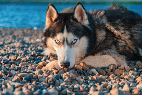 Husky Dog On The Beach Siberian Husky Close Up Portrait Buy